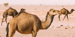 sein camel unicorn